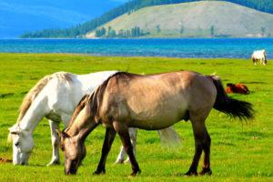 horses grazing in the lake Khovsgol
